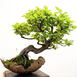 bonsai-baum