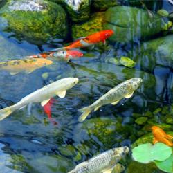 gartenteich-mit-fischen