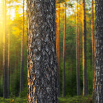 19449884 - nordic pine forest in evening light. short depth-of-field.